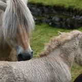 Cavalli nordici